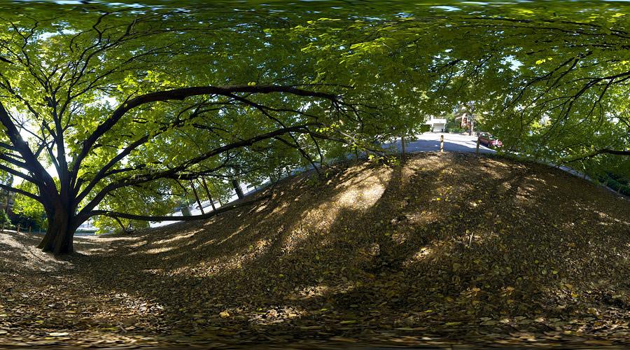golden elm tree