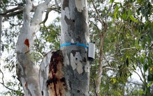 The sensors in the instrumented trees at CERES provide constant, real-time watering data.